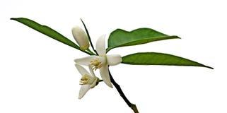 Cytrusów kwiaty Fotografia Royalty Free