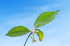 Cytrusów kwiaty Zdjęcia Stock