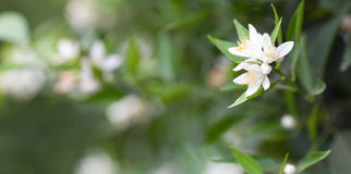 Cytrusów kwiaty zdjęcia royalty free