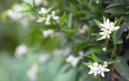 Cytrusów kwiaty obrazy stock