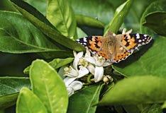 Cytrusów kwiaty Obrazy Royalty Free