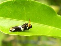Cytrus Motylia larwa 3 Obrazy Stock