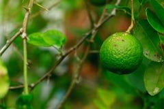 Cytrus niszczeje chorob przyczyny bakteriami wapna owoc niszczeje ważną chorobę cytrus cytryna plantfamily Zdjęcia Stock