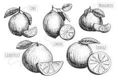 Cytrus owoc ustawiać ilustracja wektor