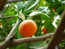 Cytrus wiesza na owocowym drzewie w przyroscie, Obrazy Royalty Free