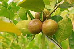 Cytrus zrudziała lądzieniec na wapno owoc, przyczyny owoc szkoda Zdjęcie Royalty Free