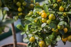 Cytrusa drzewo z żółtymi cytrynami dekoracyjna roślina w flowerpot dla wnętrza obrazy stock