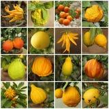 cytrusa inkasowa grapefruitowa cytryny pomarańcze Pamela Fotografia Stock