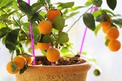 Cytrusa kumquat w houseplants zamknięty up obraz stock