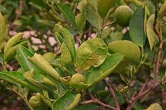 Cytrusa leafminer Zdjęcie Stock