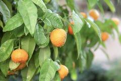 Cytrusa owocowy drzewo zdjęcie stock