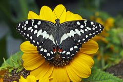 Cytrusa swallowtail Papilio motyli demodocus na słoneczniku zdjęcie royalty free