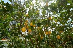 Cytryn drzewa w ogródzie obrazy stock