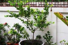 Cytryn drzewa zasadzający w szarość cemencie puszkują w ogródzie Fotografia Royalty Free