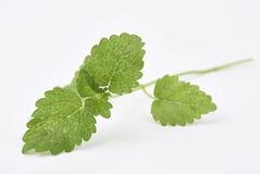 Cytryna balsamu liście fotografia stock