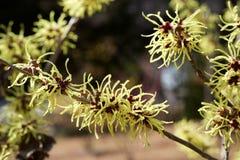 Cytryna barwił czarownicy leszczyny kwiatu w wczesnej wiośnie fotografia royalty free