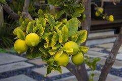 Cytryna Dojrzałe cytryny Wiesza na cytryny drzewie Narastająca cytryna Obrazy Stock
