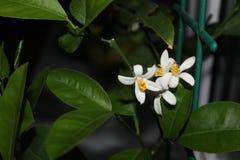 Cytryna i kwiat Zdjęcie Royalty Free