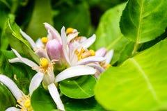 Cytryna i kwiat Zdjęcia Stock