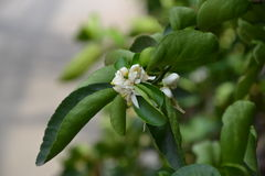 Cytryna kwiatu drzewo Obraz Stock