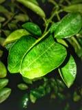 Cytryna liść Obraz Stock