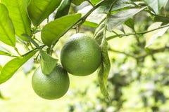 Cytryna liść na zielonym tle fotografia royalty free