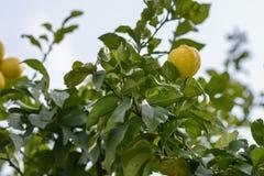 Cytryna na drzewie obrazy stock