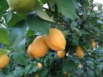 Cytryna na drzewie w zimie zdjęcia royalty free