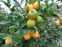 Cytryna na drzewie w zimie fotografia stock