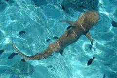 Cytryna rekin, Francuski Polynesia Zdjęcia Royalty Free