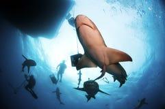 cytryna rekiny Zdjęcie Royalty Free