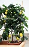 Cytryna w garnku z owoc Zdjęcie Stock