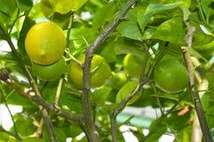 Cytryna z owoc r w szklarni Zdjęcia Stock