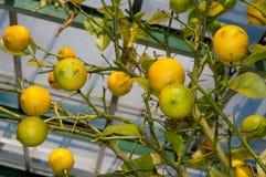 Cytryna z owoc r w szklarni Zdjęcie Stock