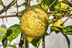 cytryny dof płycizny drzewo fotografia stock