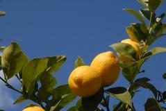 Cytryny dojrzewa na drzewie, przeciw niebieskiemu niebu z kopii przestrzenią obrazy stock