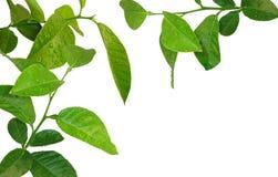 cytryny drzewa potomstwa fotografia stock