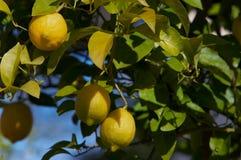 cytryny drzewne Zdjęcia Stock