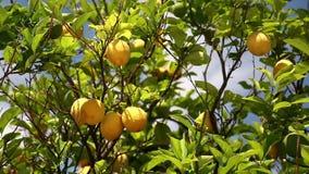 Cytryny drzewo zbiory wideo