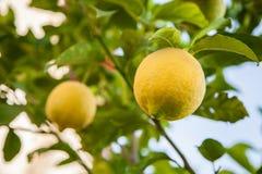 Cytryny drzewo zdjęcia stock