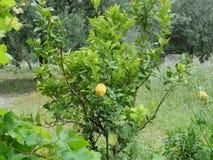 Cytryny drzewo - Frontowy widok obrazy royalty free
