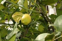 Cytryny drzewo makro- fotografia royalty free