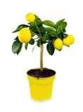 Cytryny drzewo. Odosobniony. Fotografia Royalty Free