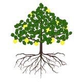 Cytryny drzewo z korzeniami Zdjęcia Royalty Free