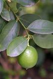 Cytryny drzewo z owoc Fotografia Royalty Free