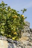 Cytryny i kamienna ściana, Portovenere Fotografia Royalty Free