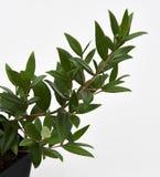 Cytryny Mirtowa roślina obraz royalty free
