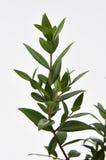 Cytryny Mirtowa roślina fotografia royalty free
