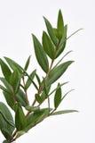 Cytryny Mirtowa roślina Zdjęcie Royalty Free