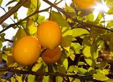 Cytryny na drzewie Zdjęcie Royalty Free